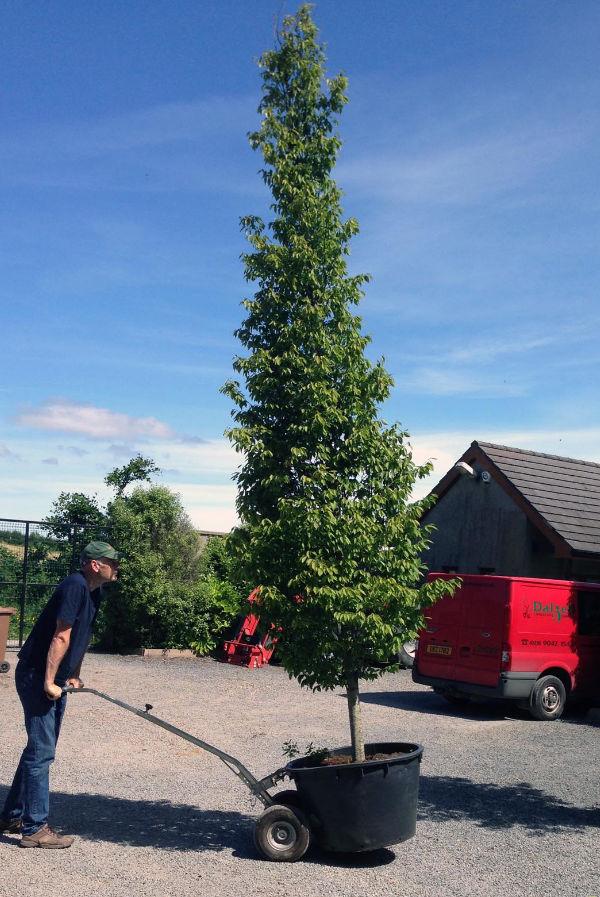 Specimen trees Belfast